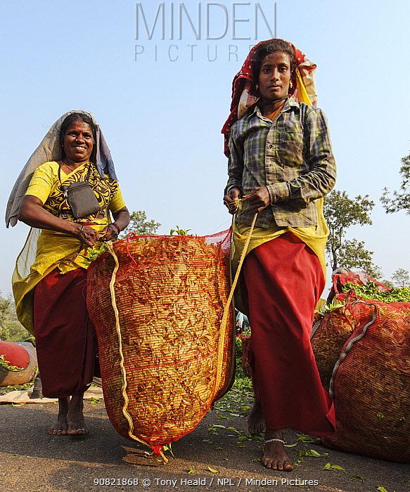 Two women carrying bag of freshly harvested Tea (Camellia sinensis) leaves. Carolyn Tea Estate, Mango Range, The Nilgiris, Tamil Nadu, India. February.