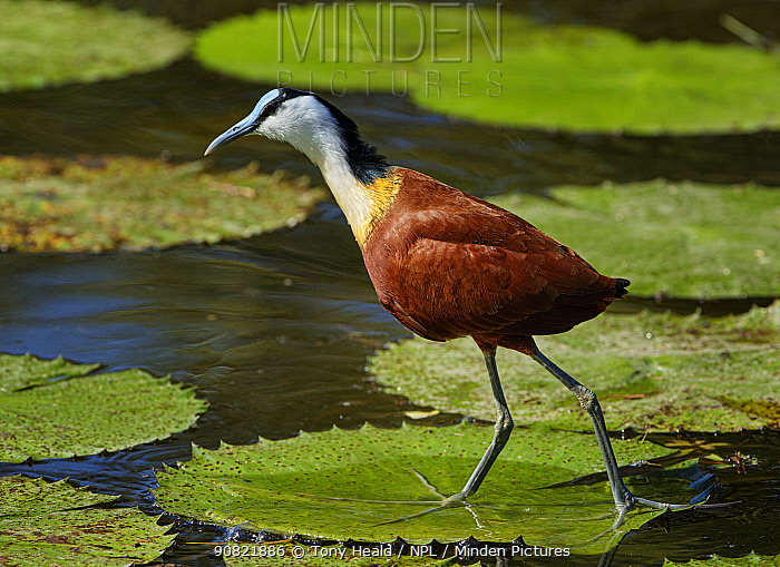African jacana (Actophilornis africanus) walking of Lily pads. Kruger National Park, South Africa.