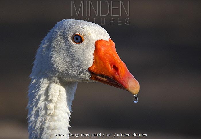 Domestic goose (Anser anser), Embden breed in morning light, portrait. Water droplet on end of beak. Namibia.