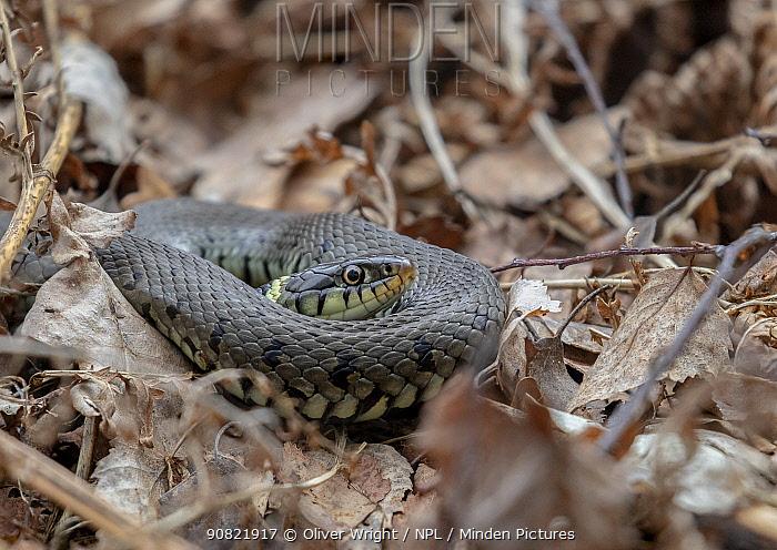 Grass snake (Natrix natrix) coiled up amongst leaf litter. Skipwith Common National Nature Reserve, North Yorkshire, England, UK. April. Focus stacked image.