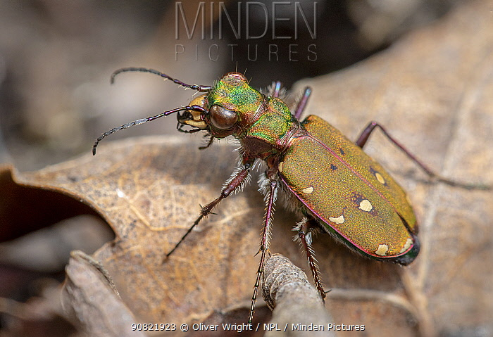 Green tiger beetle (Cicindela campestris) resting on leaf. Skipwith Common National Nature Reserve, North Yorkshire, England, UK. May. Focus stacked image.