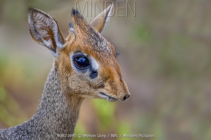 Dik-dik (Madoqua saltiana) male with scent gland below eye, portrait. Manyara, Tanzania.