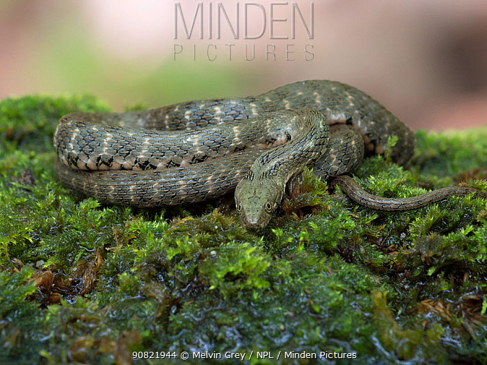 Dice snake (Natrix tessellata) coiled up on moss. Bulgaria. April.