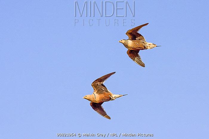 Chestnut-bellied sandgrouse (Pterocles exustus olivascens) pair in flight. Meru National Park, Kenya.