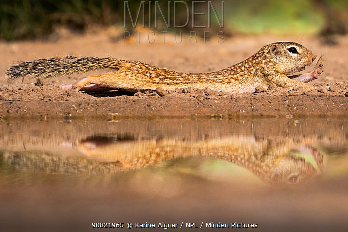 Mexican ground squirrel (Ictidomys mexicanus) stretching in sand, reflected in pond. Texas, USA. June.