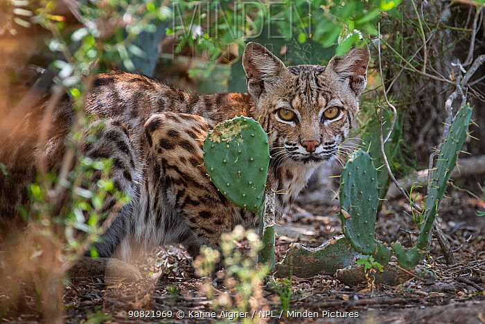North American bobcat (Lynx rufus) juvenile amongst Prickly pear (Opuntia sp) cacti. Texas, USA. July.