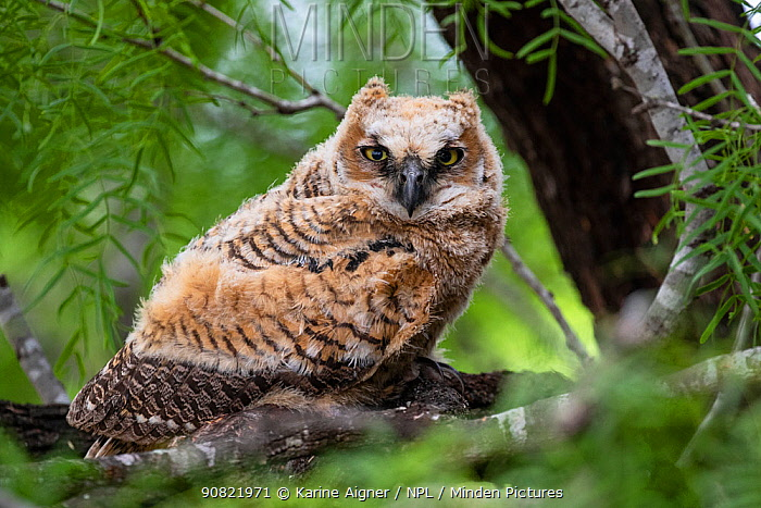 Great horned owl (Bubo virginianus) owlet in tree. Texas, USA. April.