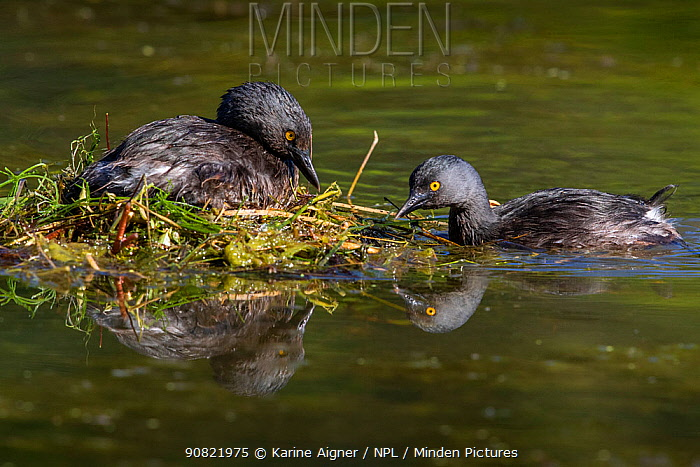 Least grebe (Tachybaptus dominicus) pair, one sitting on nest while other builds nest. Texas, USA. April.