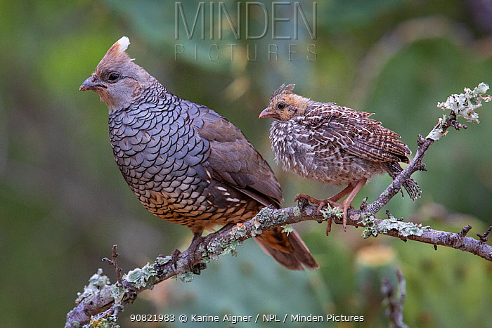 Scaled quail (Callipepla squamata) female and chick perched on branch. Texas, USA. June.