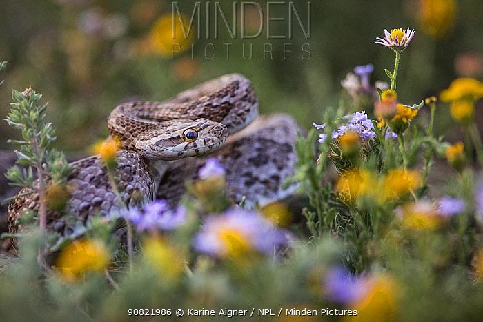 Texas rat snake (Pantherophis obsoletus lindheimeri) amongst flowers. Texas, USA. March.