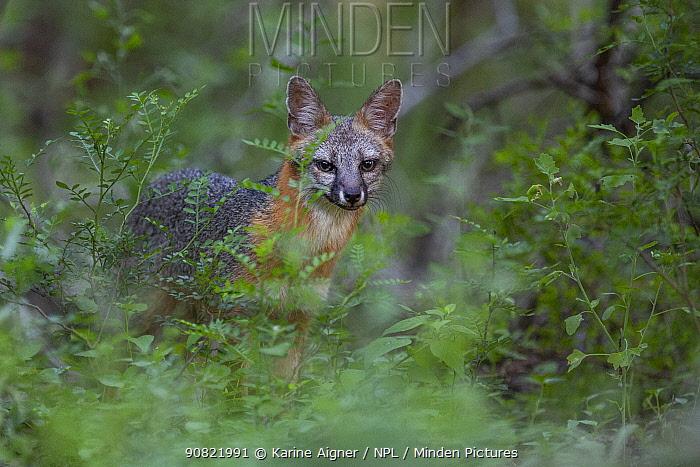 Grey fox (Urocyon cinereoargenteus) in undergrowth. Texas, USA. June.