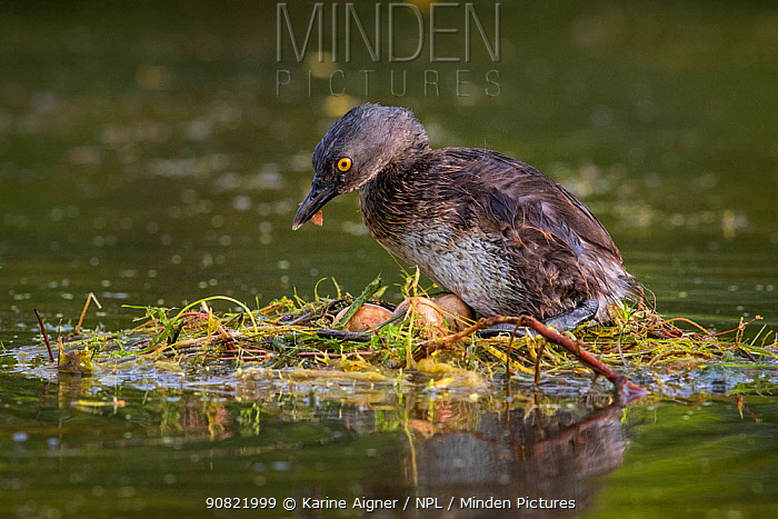 Least grebe (Tachybaptus dominicus) on nest with eggs, raised above water. Texas, USA. April.
