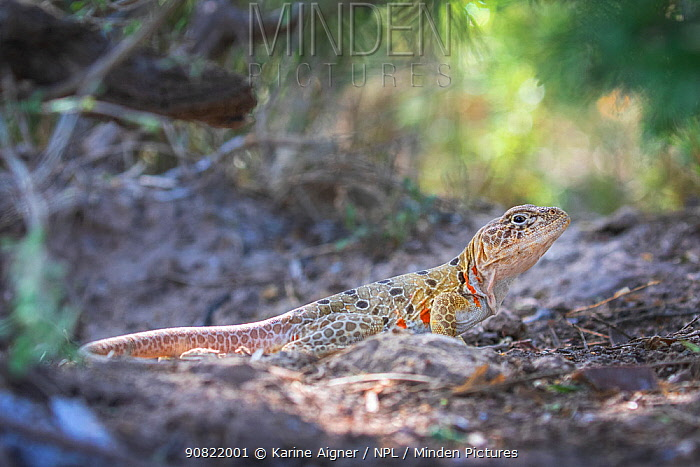 Reticulate collared lizard (Crotaphytus reticulatus) basking. Texas, USA. May.