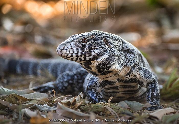 Argentine black and white tegu lizard (Tupinambis merianae), portrait. Pantanal, Mato Grosso, Brazil.