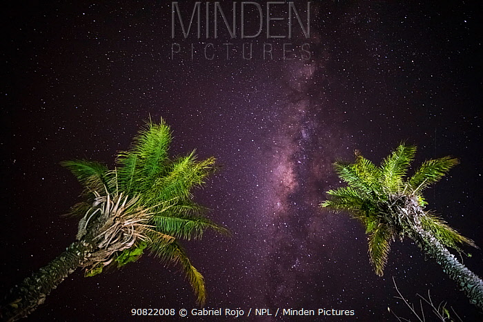 Palm trees with milky way in night sky. Pantanal, Mato Grosso, Brazil.