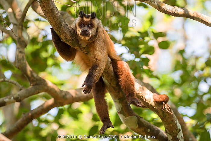Brown striped tufted capuchin monkey (Sapajus apella) resting in tree. Amazon rainforest, Mato Grosso Brazil.