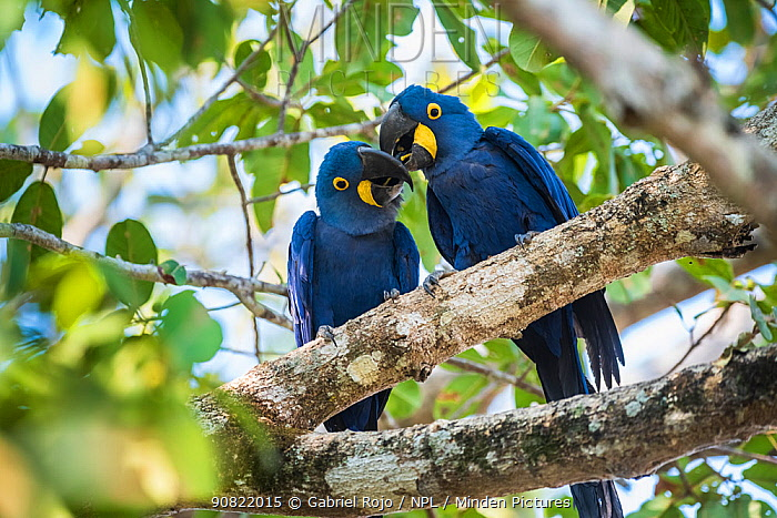 Hyacinth macaw (Anodorhynchus hyacinthinus) pair in courtship, perched in tree. Mato Grosso forest, Pantanal, Mato Grosso, Brazil.