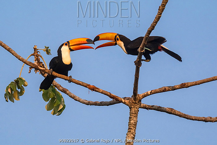 Toco toucan (Ramphastos toco) pair billing in tree. Pantanal forest, Mato Grosso, Brazil.