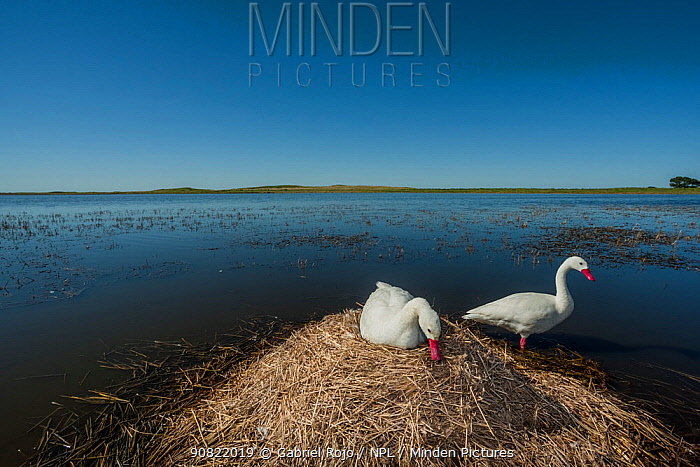 Coscoroba swan (Coscoroba coscoroba) pair nesting on lagoon, one sitting on nest whilst other stands nearby. La Pampa, Patagonia, Argentina. February.