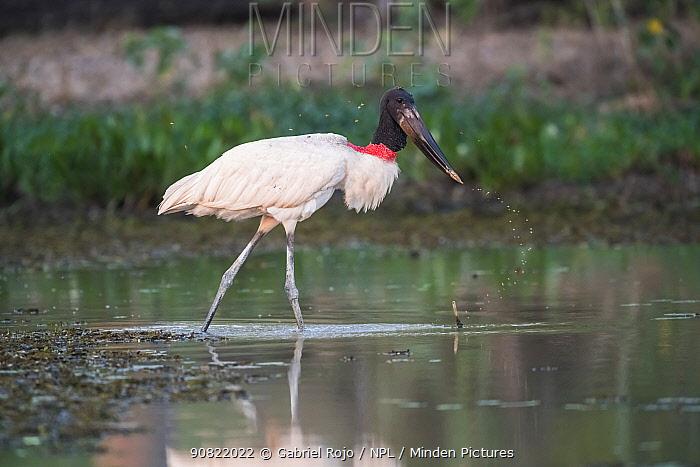 American stork (Jabiru mycteria) hunting in water. Pantanal, Mato Grosso, Brazil.