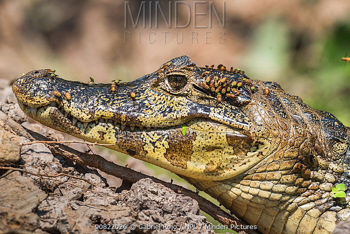 Broad-snouted caiman (Caiman latirostris) baby with flies on head, portrait. Pantanal, Mato Grosso, Brazil.