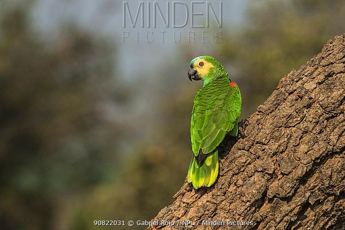Turquoise-fronted Amazon (Amazona aestiva) perched on tree trunk. Pantanal, Mato Grosso, Brazil.