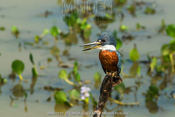 Ringed kingfisher (megaceryle torquata) perched with beak open in wetland. Pantanal, Mato Grosso, Brazil.