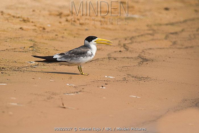 Yellow-billed tern (Sternula superciliaris) standing on sand with open beak. Cuiaba River, Pantanal, Mato Grosso, Brazil.