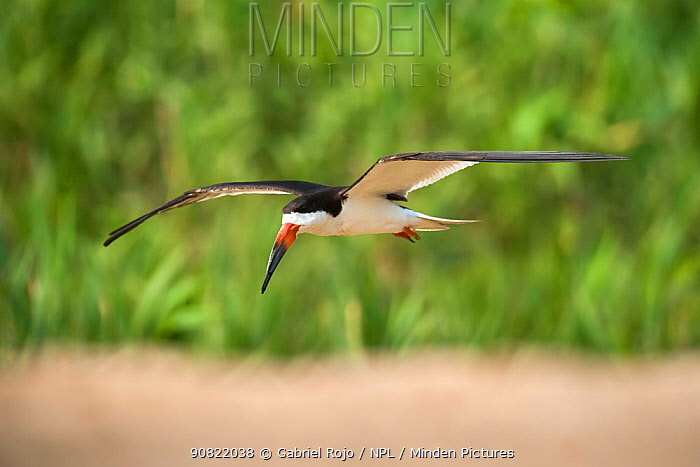 Black skimmer (Rynchops niger) in flight. Cuiaba River, Pantanal, Mato Grosso, Brazil. September.
