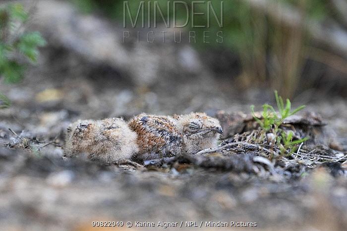 Pauraque (Nyctidromus albicollis) two chicks in nest. Texas, USA. June.