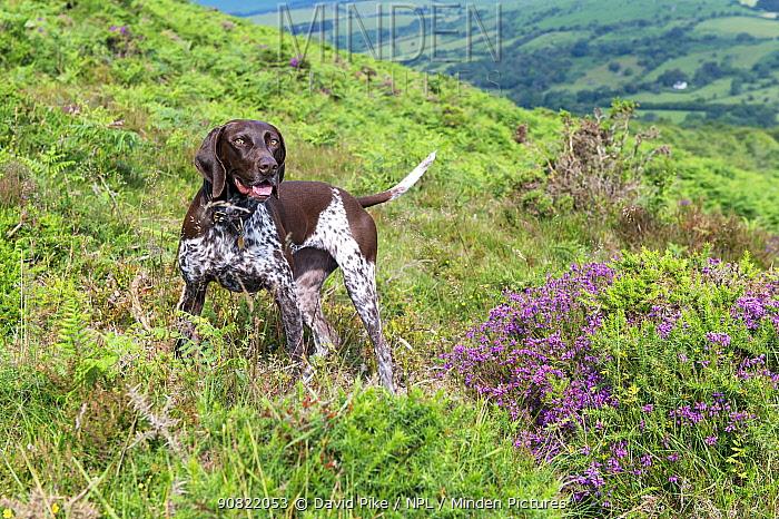 German short-haired pointer amongst heather on hillside. Dartmoor, Devon, England, UK. July 2019.