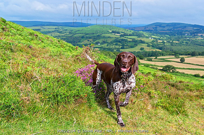German short-haired pointer on hillside. Dartmoor, National Park, Devon, England, UK. July 2019.
