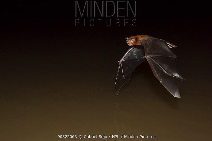 Fisherman bat (Noctilio leporinus),Cuiab� River,Pantanal, Mato Grosso, Brazil