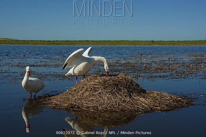 Coscoroba swan (Coscoroba coscoroba) at nest raised above lagoon. La Pampa, Patagonia, Argentina. February.