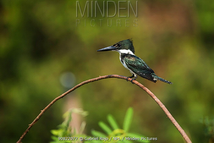 Green kingfisher (Chloroceryle americana) perched on branch. Pantanal, Mato Grosso, Brazil
