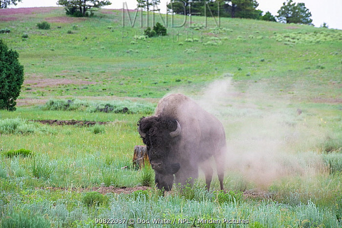 American bison (Bison bison) in dust, on grassland. Near Chama. New Mexico, USA. June 2019.