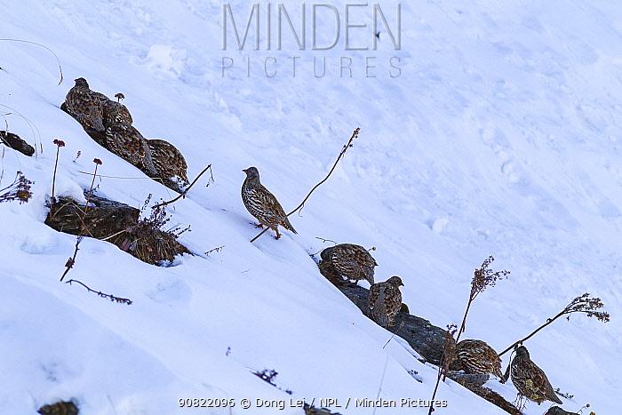 Snow partridge (Lerwa lerwa) flock feeding in snow. Jiudingshan Nature Reserve, Mao Country, Sichuan Province, China. November.