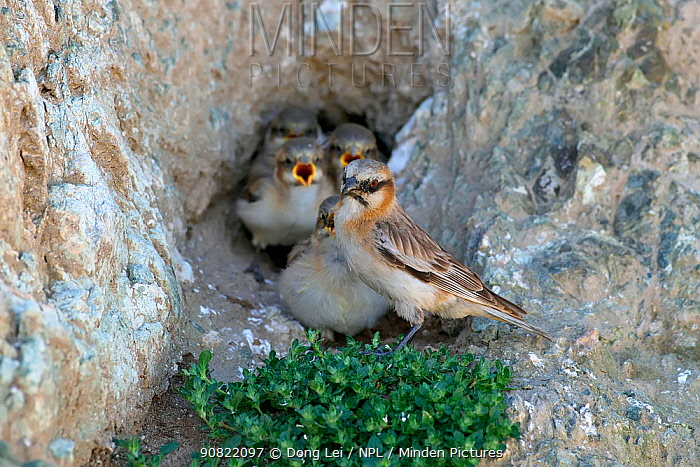 Rufous-necked snowfinch (Pyrgilauda ruficollis) adult with begging chicks at nest in rock hollow. Sanjiangyuan National Nature Reserve, Qinghai Province, Qinghai-Tibet Plateau. August.