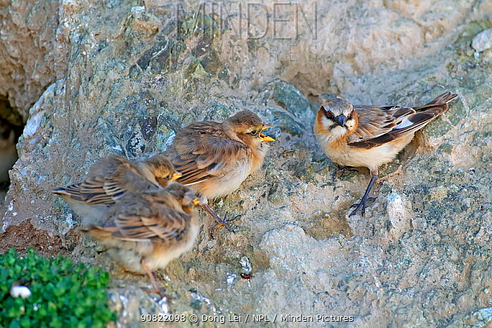 Rufous-necked snowfinch (Pyrgilauda ruficollis) adult with begging chicks. Sanjiangyuan National Nature Reserve, Qinghai Province, Qinghai-Tibet Plateau. August.