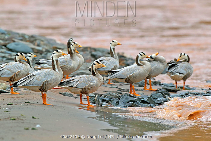 Bar headed goose (Anser indicus) flock standing at water's edge. Sanjiangyuan National Nature Reserve, Qinghai Province, Qinghai-Tibet Plateau. August.