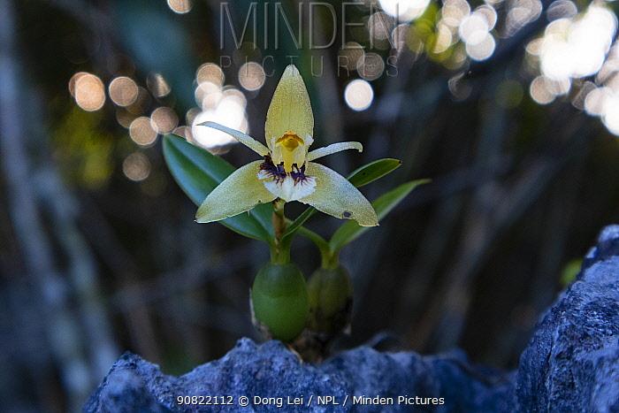 Brown rock orchid (Coelogyne fimbriata). Nonggang Natural Reserve, Guanxi Province, China.