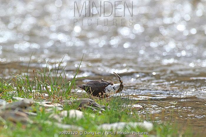 White-throated dipper (Cinclus cinclus) feeding at water's edge, tadpole in beak. Sanjiangyuan National Nature Reserve, Qinghai Province, Qinghai-Tibet Plateau. August.