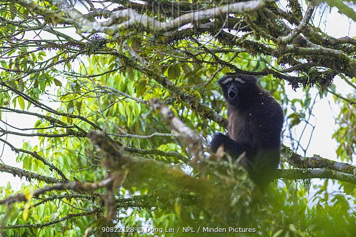Hoolock gibbon (Hoolock tianxing) vocalising whilst sitting in tree. Gaoligong Mountain National Nature Reserve, Yunnan Province, China.