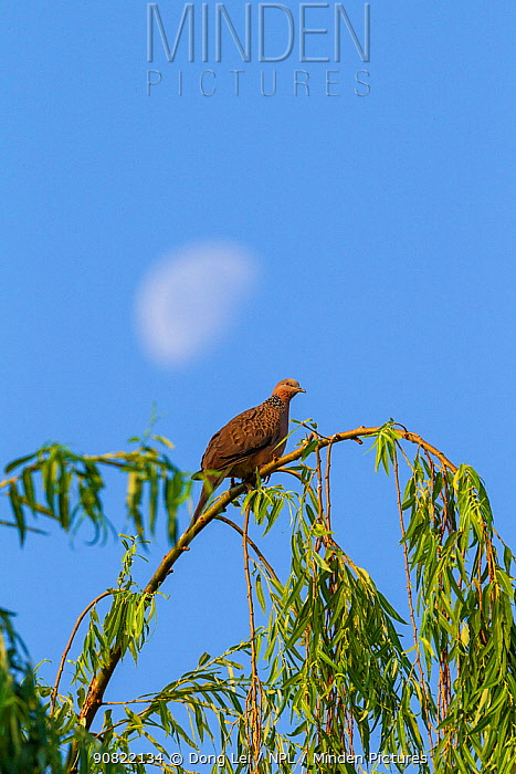 Spotted dove (Spilopelia chinensis) roosting in tree, half moon in sky. Mount Luoji Nature Reserve, Sichuan Province, China. May.