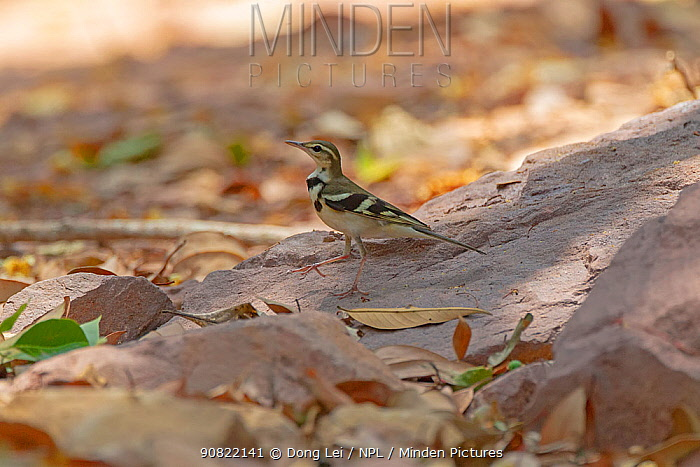 Forest wagtail (Dendronanthus indicus) on sand. Simao, Pu'er Prefecture, Yunnan Province, China