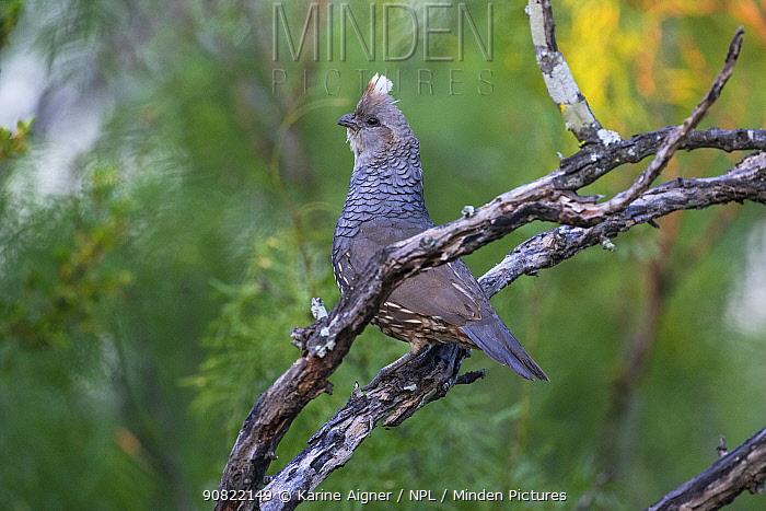 Scaled quail (Callipepla squamata) perched on branch. Texas, USA. June.