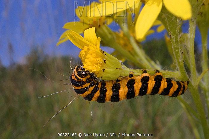 Cinnabar moth (Tyria jacobaeae) caterpillar feeding on Ragwort (Jacobaea vulgaris) in meadow. Wiltshire, England, UK. July.