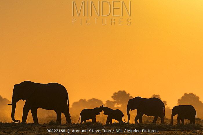 African elephants (Loxodonta africana) herd silhouetted at sunset. Chobe National Park, Botswana.