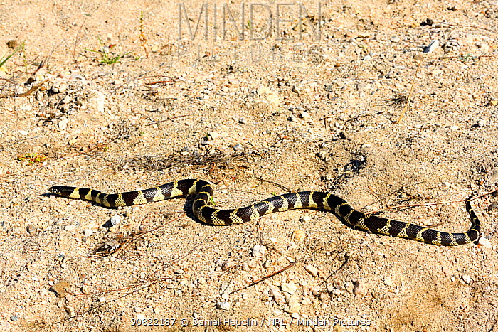 California kingsnake (Lampropeltis californiae) moving across sand. Sonoran Desert, Arizona, USA. May.