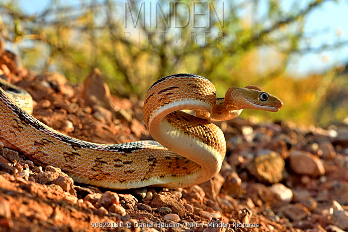 Trans-Pecos rat snake (Bogertophis subocularis), ready to strike. Texas, USA. May. Controlled conditions.